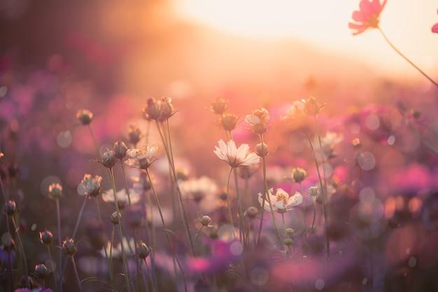 Kosmos kwiaty piękne w tle ogrodu