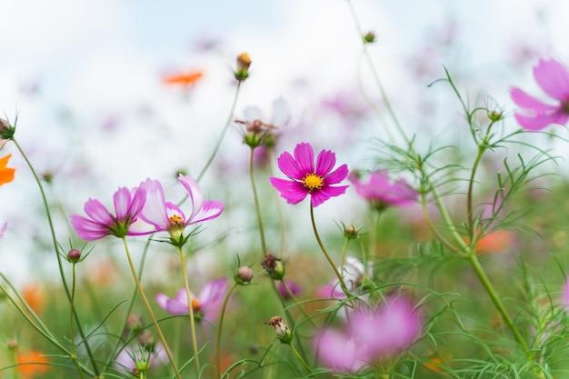 Kosmos kwiaty w ogrodzie kwiatowym, koncepcja kwiaty natura