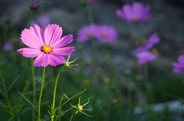 Kosmos kwiaty