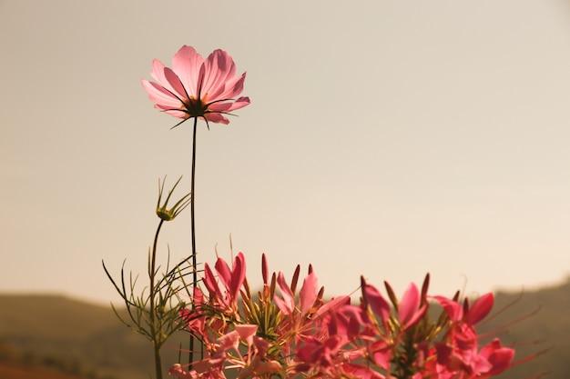Kosmos kwitnie i pająka kwiatu sepiowy kolor w parku w sezonie letnim