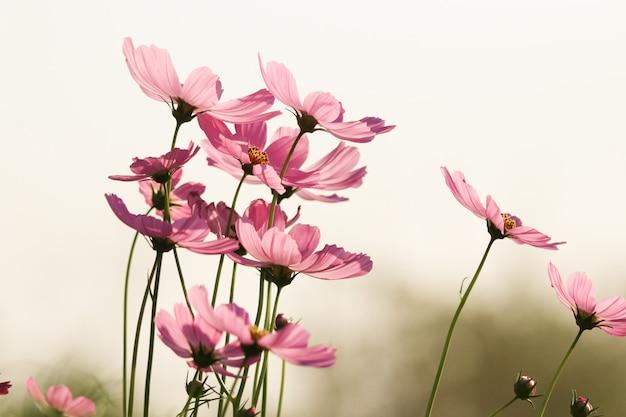 Kosmos kwitnie miękkim płatkiem o wietrze w kolorze sepii, pięknym z natury rano