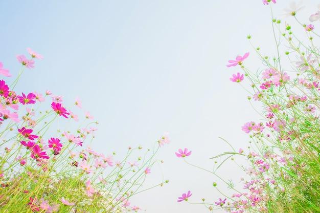 Kosmos kwitnie pole na niebieskiego nieba tle