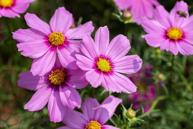 Kosmos lub meksykański kwiat aster w ogrodzie