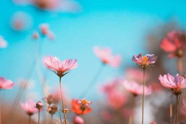 Kosmos pięknie kwitnie w ogrodzie