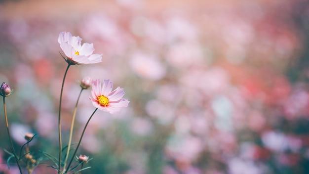 Kosmos Pięknie Kwitnie W Ogrodzie Premium Zdjęcia