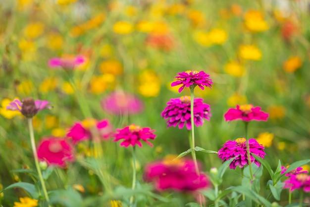 Kosmos różowe kwiaty pięknie kwitną w ogrodzie natury