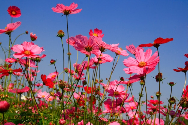 Kosmos różowy kwiat w ogrodzie
