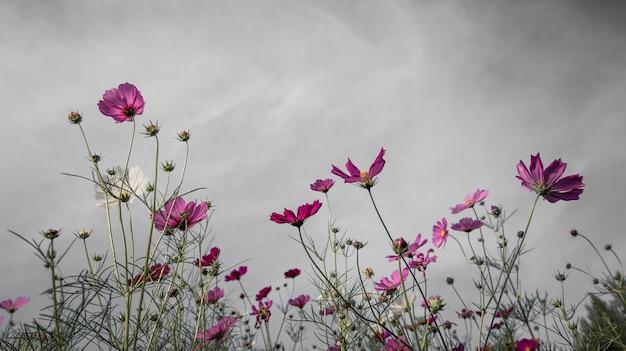 Kosmosu kwiat na ciemnej chmurze