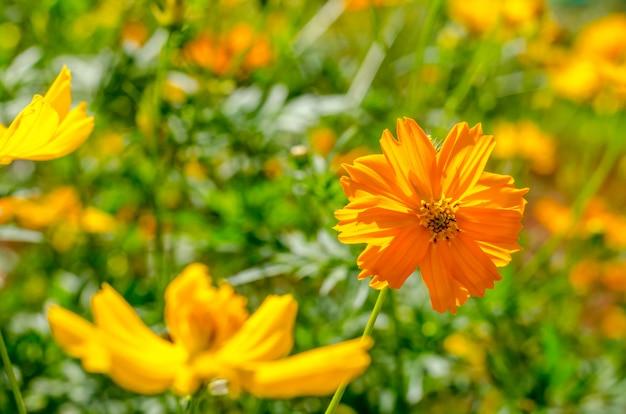 Kosmosu kwiat na zielonym tle