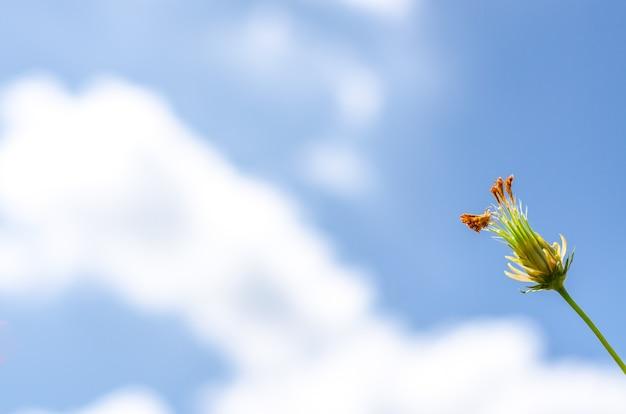 Kosmosu kwiat pod niebieskim niebem w lato czasie