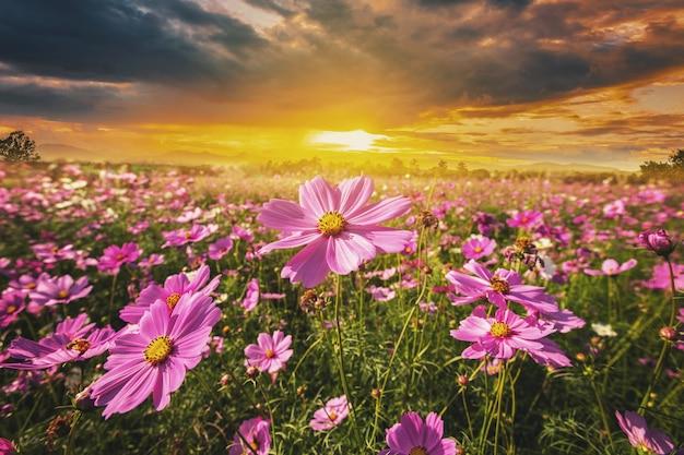 Kosmosu kwiatu pola łąka i naturalny sceniczny krajobrazowy zmierzch