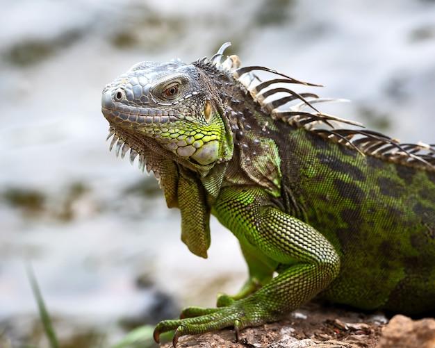 Kostaryka tortuguero iguana