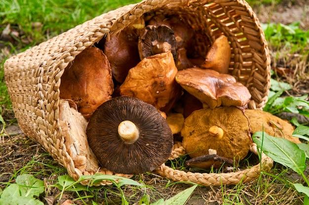 Kosz pełen dużych grzybów na zielonym terenie leśnym.