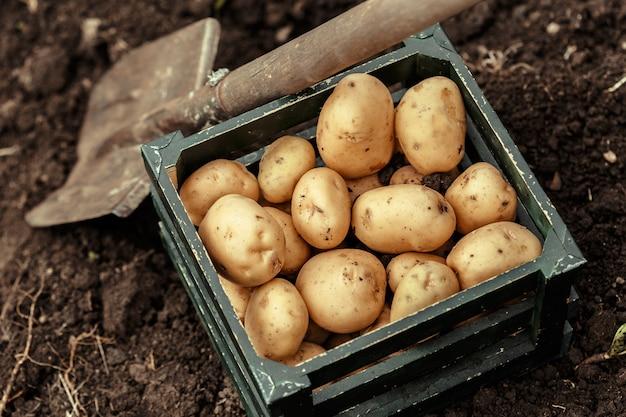 Kosz świeżych smacznych nowych ziemniaków.