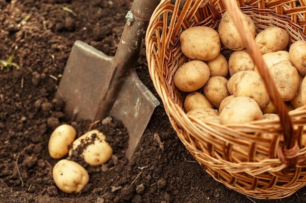 Kosz świeżych smacznych nowych ziemniaków