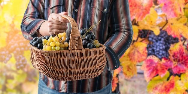 Kosz w rękach winiarza z dojrzałych winogron na tle winnicy
