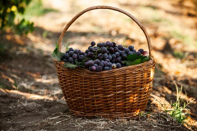 Kosz z czarnymi winogronami winogrona na czerwone wino francuska winnica