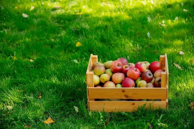 Kosz z jabłkami na zielonej trawie w ogrodzie