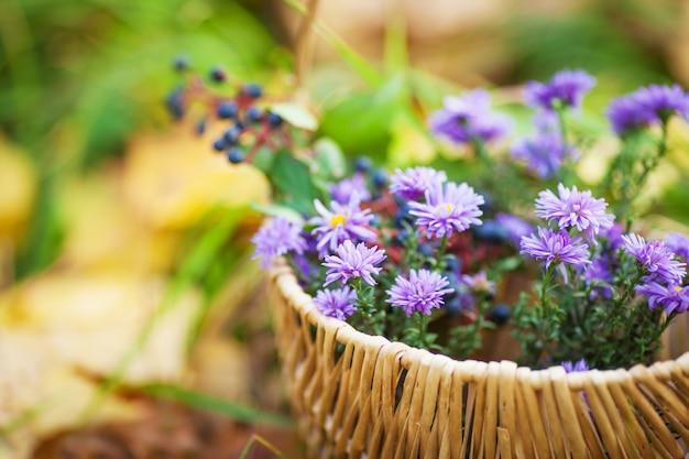 Kosz z jesiennych kwiatów. czas jesieni. fioletowe chryzantemy w wiklinowym koszu