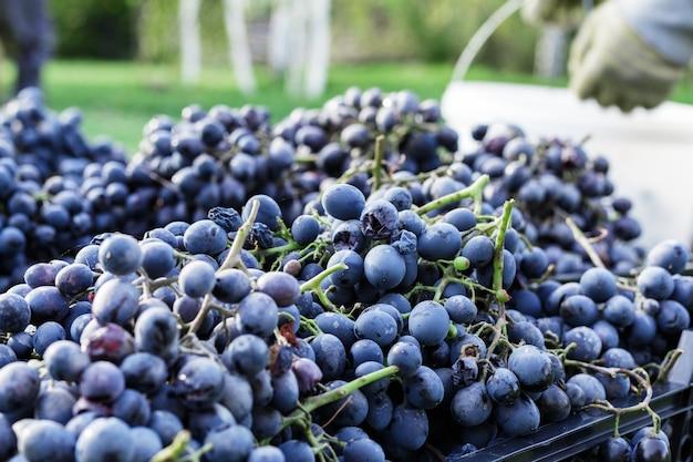 Kosze dojrzałych kiści czarnych winogron na zewnątrz. jesienne zbiory winogron w winnicy na trawie gotowe do dostawy do produkcji wina. cabernet sauvignon, merlot, pinot noir, winogrona sangiovese w skrzynkach