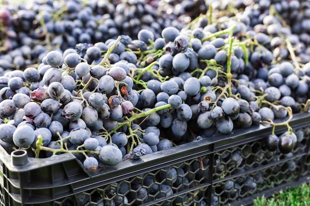 Kosze dojrzałych kiści czarnych winogron na zewnątrz. jesienne zbiory winogron w winnicy na trawie