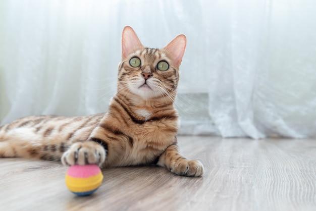 Kot bengalski bawi się kolorową piłką na podłodze w pokoju.