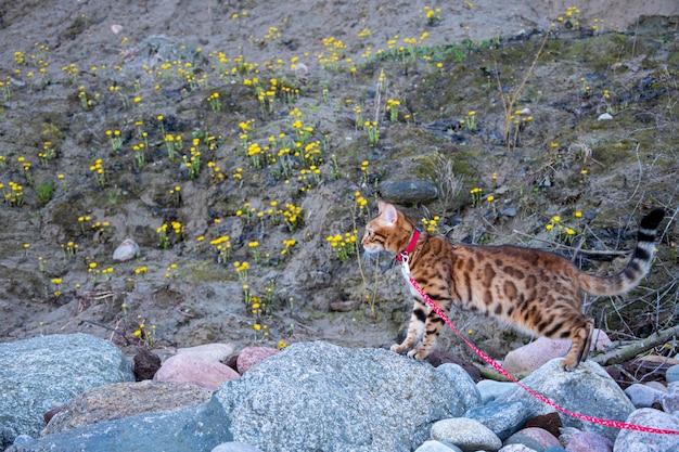 Kot bengalski chodzi po kamieniach na smyczy
