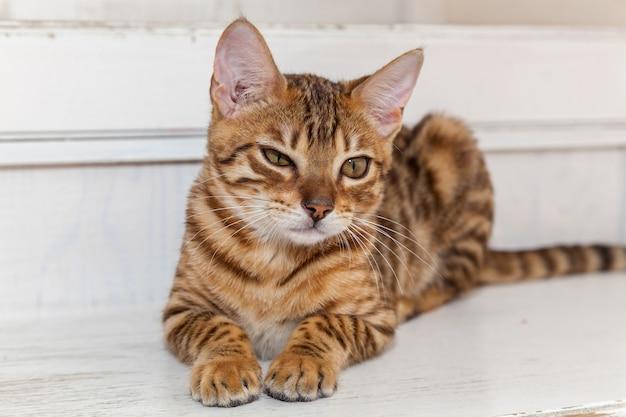 Kot bengalski. czerwony kot bengalski leżący leniwie na białych schodach, mrużąc oczy.