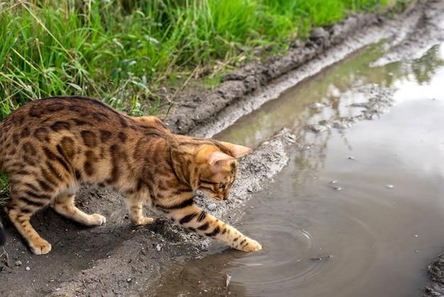 Kot bengalski delikatnie dotyka wody łapą w kałuży