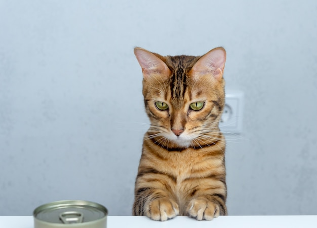 Kot bengalski i puszka karmy dla kota na stole