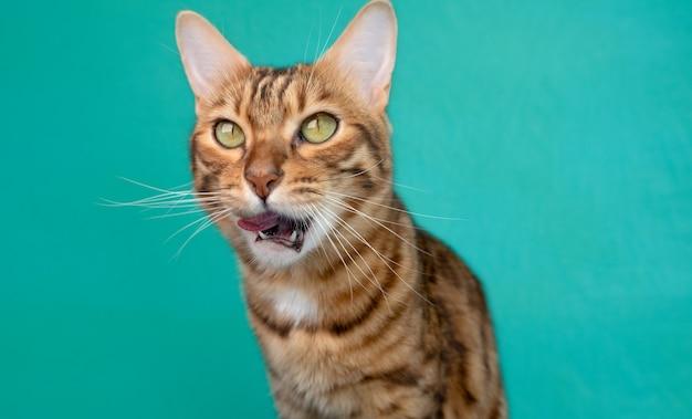 Kot bengalski je na zielonej powierzchni, karmiąc zwierzęta