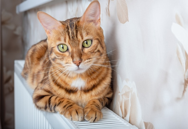 Kot bengalski leży na baterii w zimny jesienny dzień