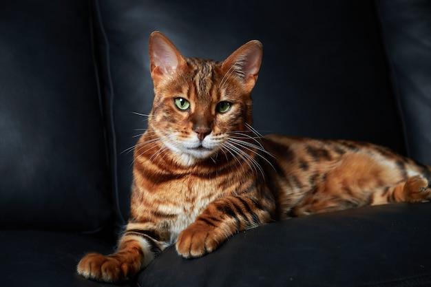 Kot bengalski leży na ciemnej skórzanej kanapie.