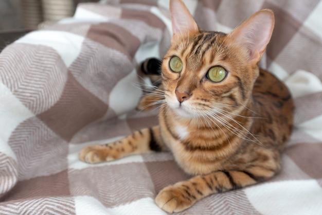 Kot bengalski leży na kocu w kratę w pokoju