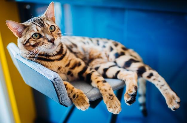 Kot bengalski leży na szarym krześle