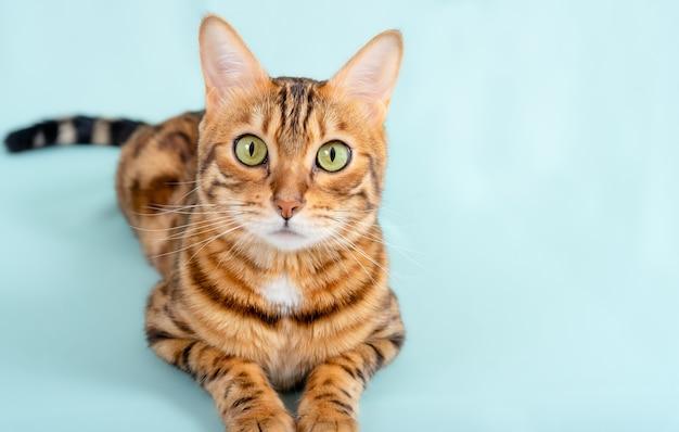 Kot bengalski leży na turkusowej powierzchni