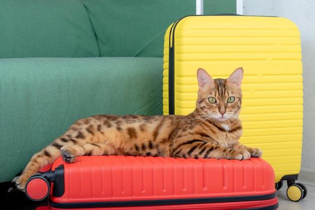 Kot bengalski leży na walizce w pokoju, czekając na podróż.