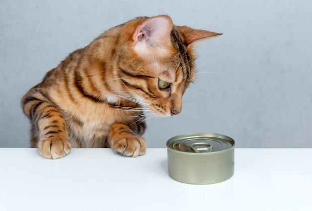 Kot bengalski ma zamiar zjeść mokrą karmę z puszki