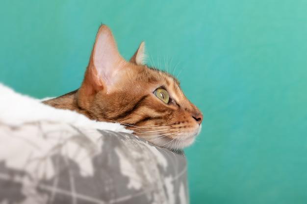 Kot bengalski marzycielsko spogląda w bok, leżąc w legowisku dla kota na zielonej powierzchni