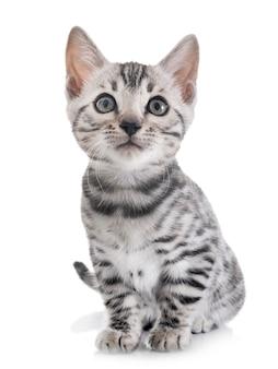 Kot bengalski na białym tle