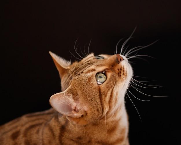 Kot bengalski na czarnym tle