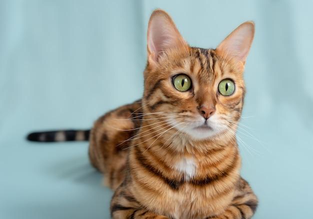 Kot bengalski na turkusowym tle uważnie spogląda w bok. portret pięknego kota rasowego.