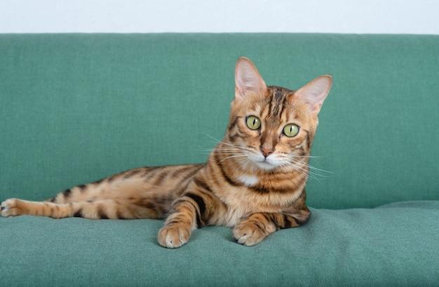 Kot bengalski odpoczywa na miękkiej sofie w salonie