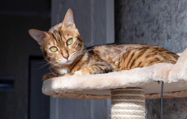 Kot bengalski oświetlony światłem słonecznym, odpoczywający na drzewie dla kotów w pokoju