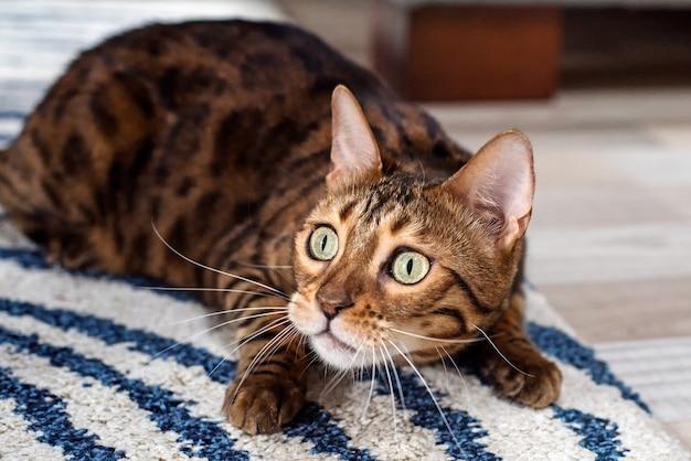 Kot bengalski poluje w mieszkaniu. domowy kotek przestraszony siedzący na dywanie.