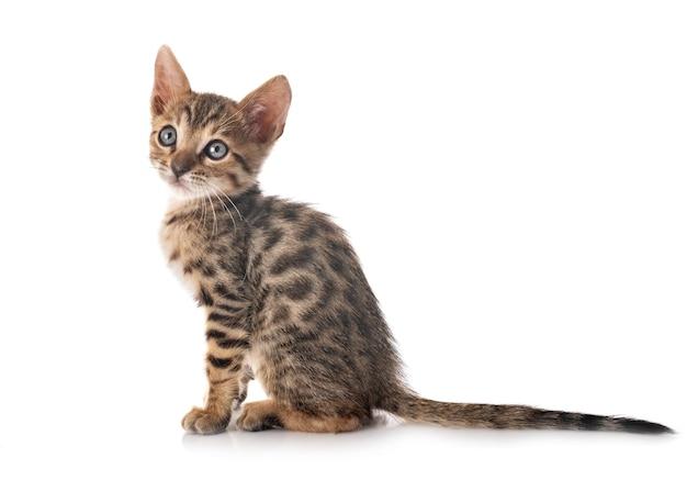 Kot bengalski przed białym tle