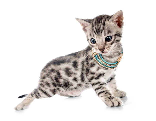 Kot bengalski przed białym tłem