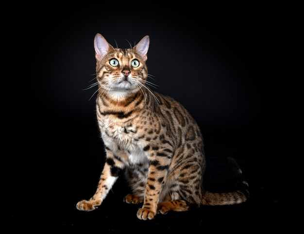 Kot bengalski przed czarnym tłem