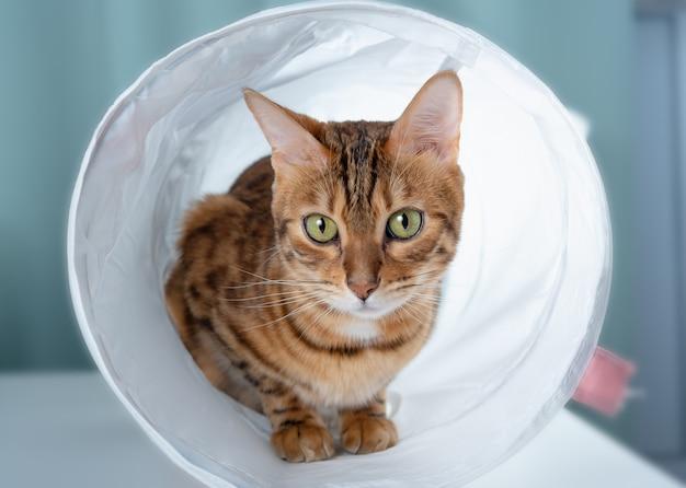 Kot bengalski przygląda się uważnie z tunelu dla kota
