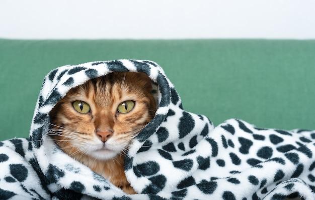 Kot bengalski przykryty kocem lub pledem, kot owinięty w ciepłą kratę